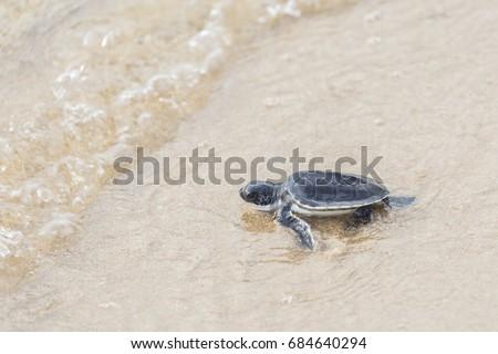 Baby sea turtle walks sand towards stock photo royalty free baby sea turtle walks sand towards stock photo royalty free 684640294 shutterstock publicscrutiny Gallery