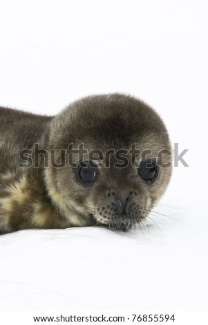 baby seal in Antarctica - stock photo