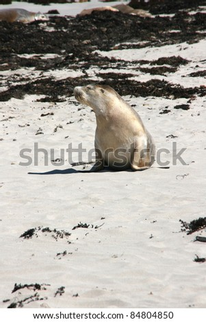 baby seal with his mother on a beach, kangaroo island, adelaide, australia