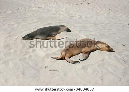 baby seal with his mother on a beach, kangaroo island, adelaide, australia - stock photo