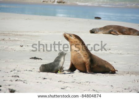 baby seal with his mother on a beach, kangaroo island, adelaide, australia - stock photo