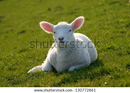 Baby sheep relaxing the early spring sun - stock photo