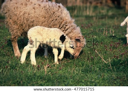 Baby sheep with mother sheep