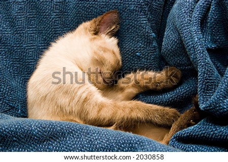 Baby Siamese kitten, sleeping. - stock photo