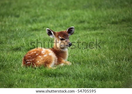 baby sitatunga lying on fresh green grass - stock photo