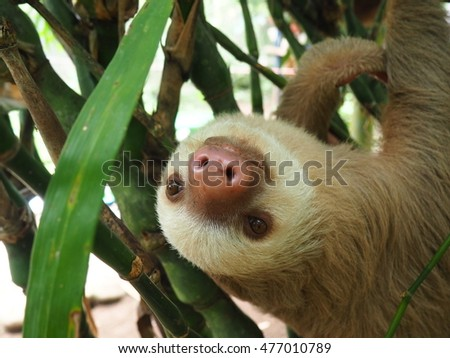 Baby sloth hanging in a tree