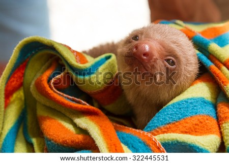 Baby sloth in colorful striped blanket - stock photo