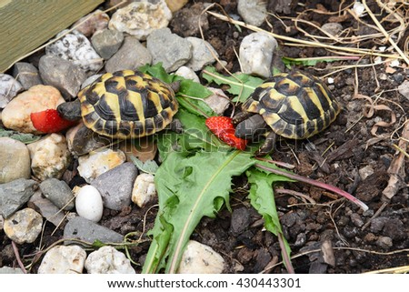 "Baby small turtle ""Testudo hermanni"" - stock photo"
