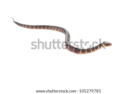 baby snake crawling on white background