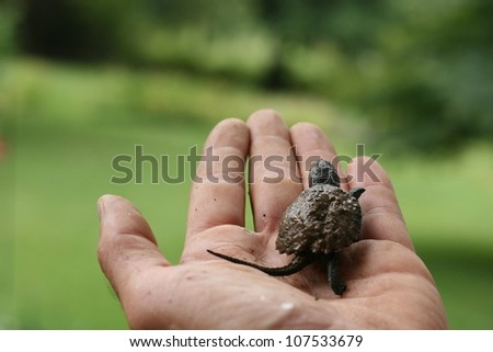 baby snapping turtle on man's hand - stock photo