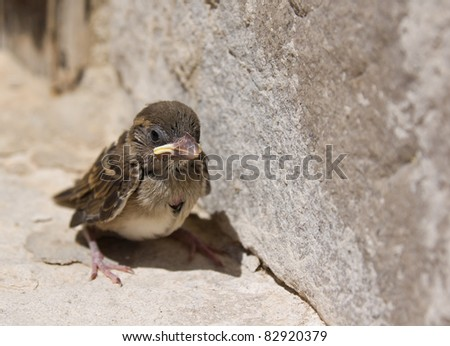 baby sparrow - stock photo