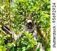 Baby Spider Monkey in vegetation - stock photo