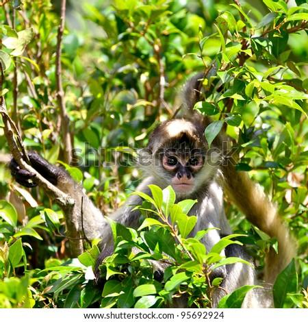 Baby Spider Monkey in vegetation - stock photo