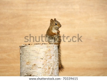 Baby squirrel enjoying sunflower seeds on birch log with copy space. - stock photo