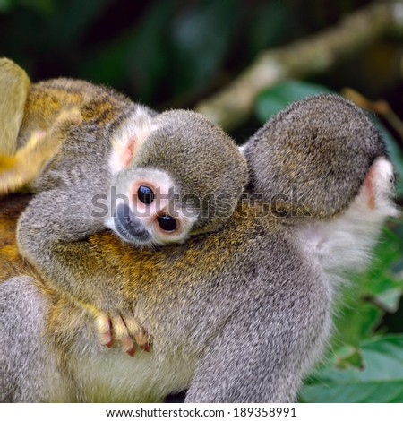 Baby Squirrel Monkey on the back of his mom in amazon rainforest, Ecuador - stock photo