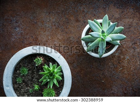 Baby succulent plants growing in a pot over rustic background - stock photo