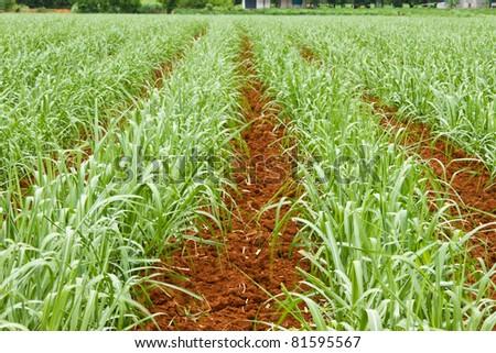 Baby sugar cane farmland - stock photo