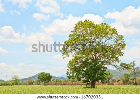 Baby sugar cane farmland and trees on blue sky background - stock photo