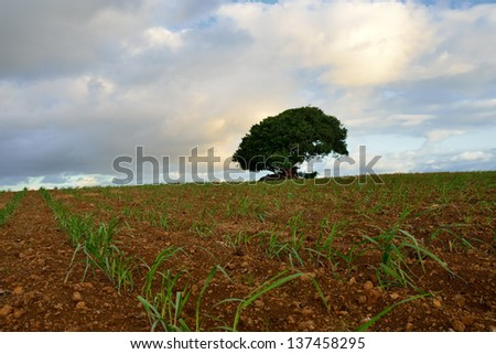 Baby sugarcane farmland with solitary big tree at sunset time, Mauritius - stock photo