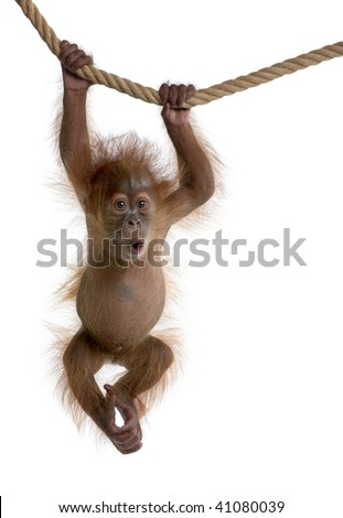 Baby Sumatran Orangutan hanging on rope, 4 months old, in front of white background - stock photo