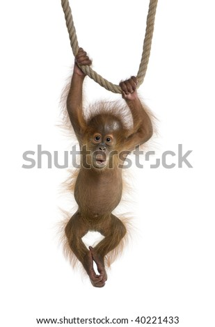 Baby Sumatran Orangutan (4 months old), hanging on a rope, studio shot, in front of a white background - stock photo