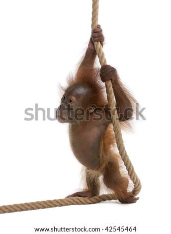 Baby Sumatran Orangutan, 4 months old, holding onto rope in front of white background - stock photo