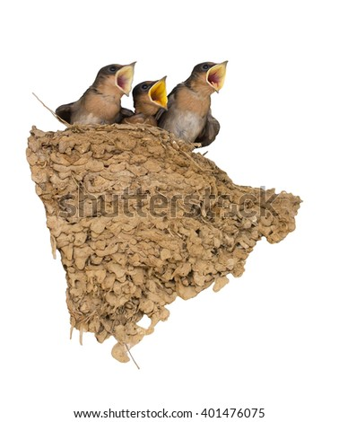 Baby swallow birds in nest on white. (Focus on big baby bird.) - stock photo
