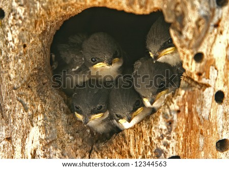 baby swallows in nest hole