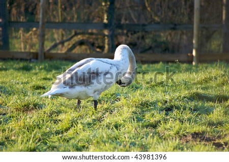 Baby Swan - stock photo