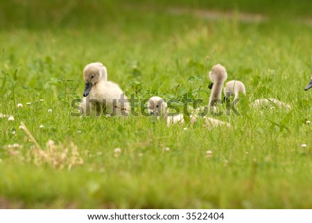 baby swans in a field