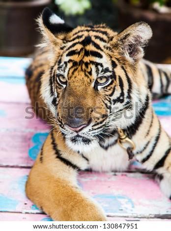baby tiger - stock photo