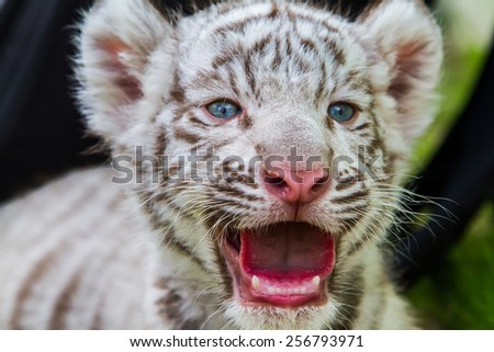 Baby Tiger - stock photo