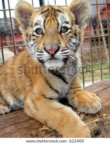 Baby tiger cub in captivity