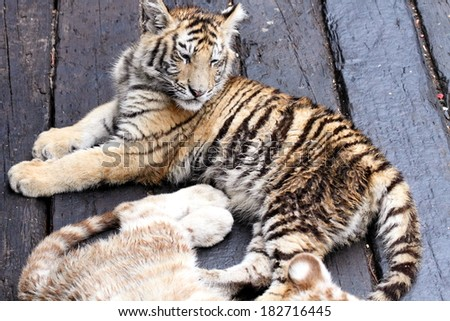 baby tiger in a zoo, in Guangzhou, China - stock photo