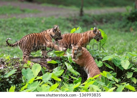 baby tiger playing - stock photo