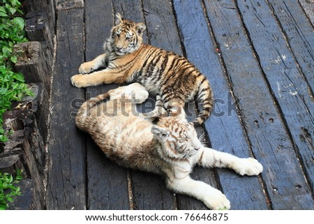 baby tigers in Guangzhou, China - stock photo