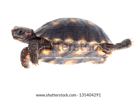baby tortoise pet isolated on white.