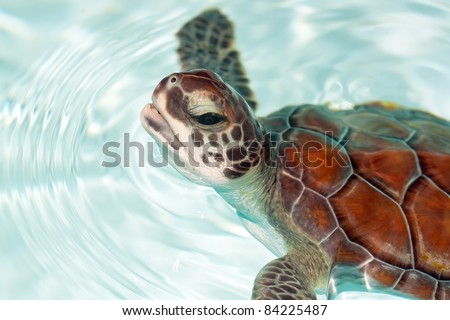 Baby turtle in the water - stock photo
