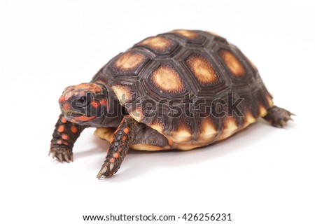 Baby turtle. little turtle. Cherry Head Red-footed Tortoise. turtle isolated on white background. - stock photo