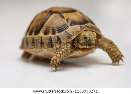 Baby turtle. little turtle. Head footed Tortoise. turtle isolated on white background - push up