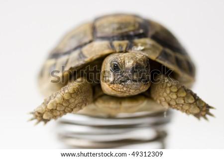 baby turtle on white - stock photo