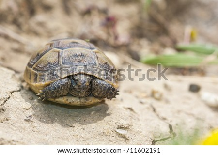 Baby turtle, the spur-thighed tortoise (or Greek tortoise) (Testudo graeca) is one of five species of Mediterranean tortoise; resting, sleeping on rock