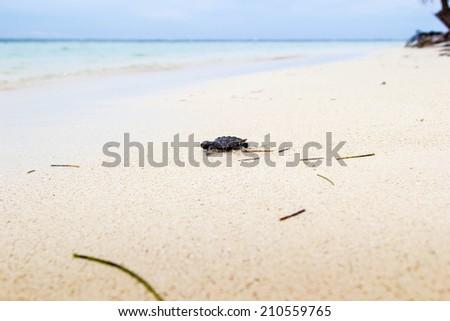 Baby turtle towards the sea - stock photo