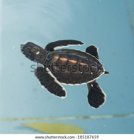 Baby turtles - stock photo