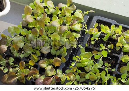 Baby Vegetables : Seeds planted in the potting shed - stock photo