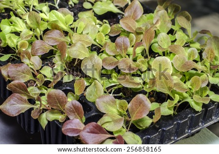 Baby Vegetables : Seeds planted in the potting shed,Potted seedlings growing in peat moss pots  - stock photo