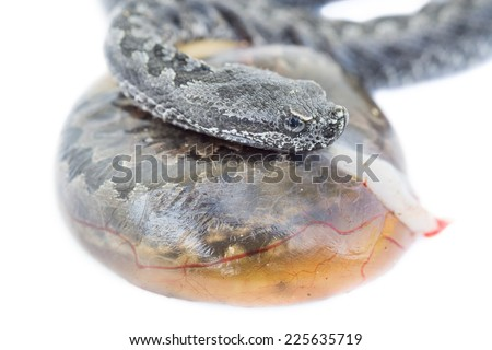 Baby vipera latastei snake over snake egg and white background - stock photo