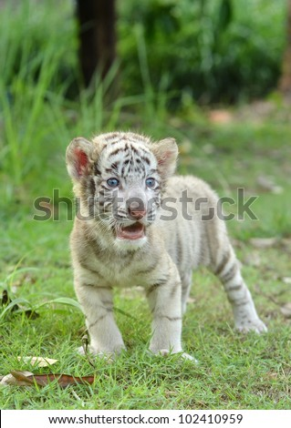 baby white bengal tiger standing on green grass - stock photo