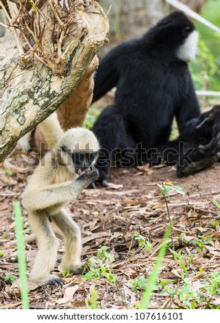 Baby white cheeked gibbon or Lar gibbon with family