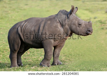 Baby white rhino with the start of a horn and ears pricked - stock photo